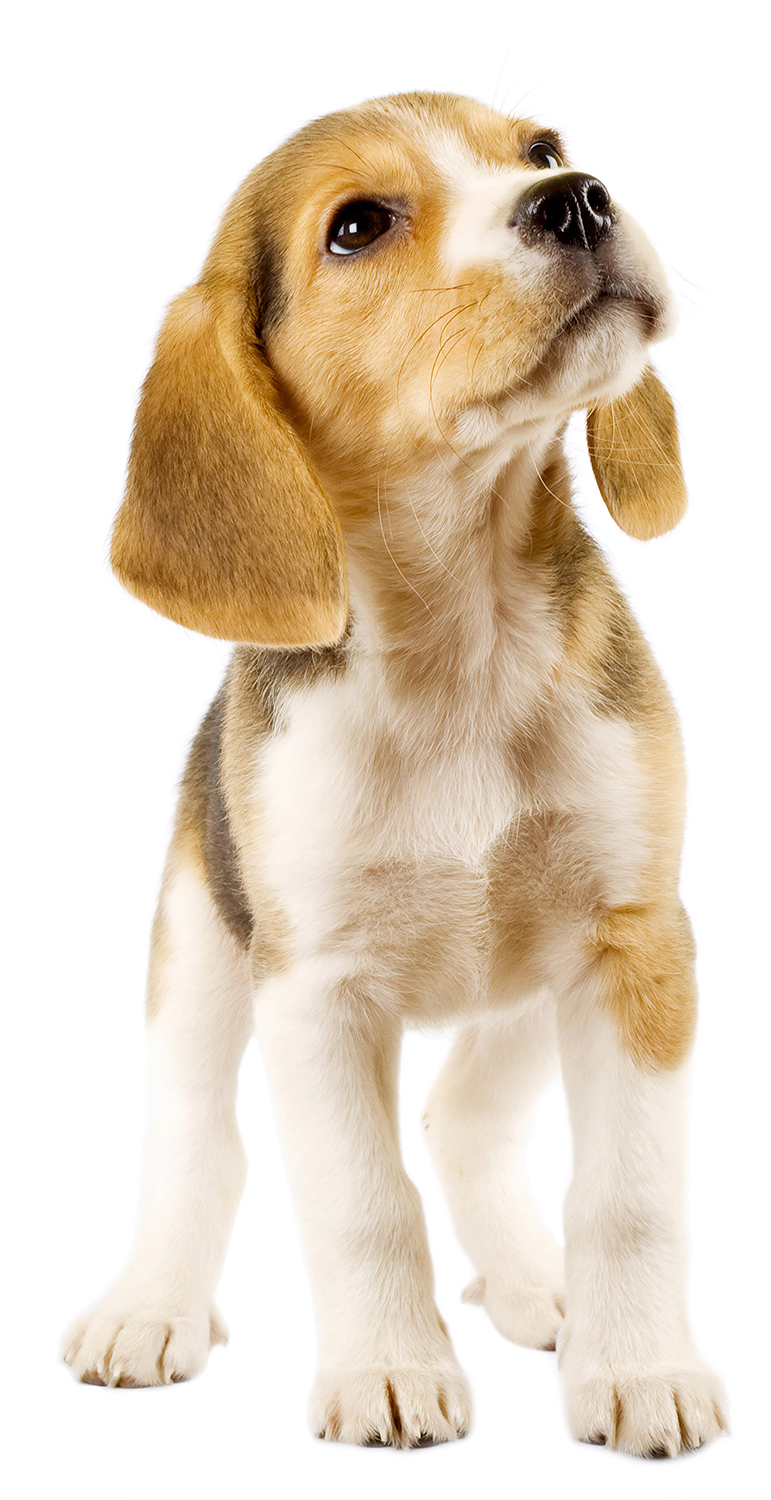 Beagle puppy, the breed used for animal research
